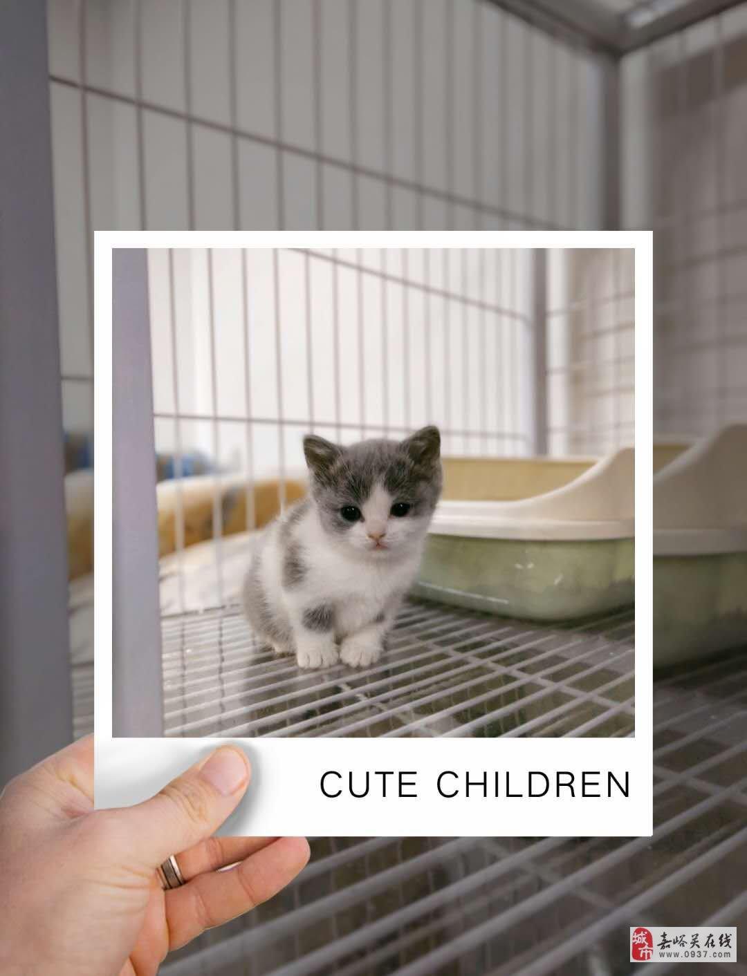 銀漸層、金漸層,藍白小奶貓出售