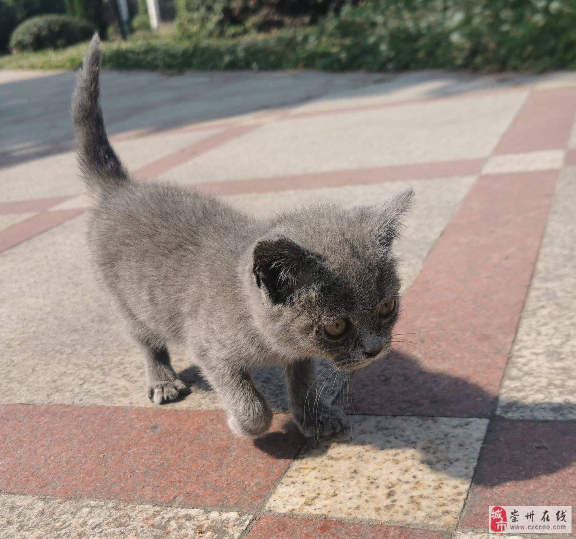 3个半月的蓝猫,超级听话可爱