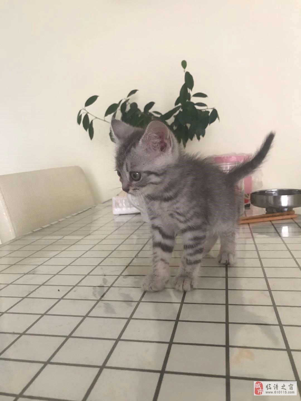 五十天小奶猫很纯的银虎斑