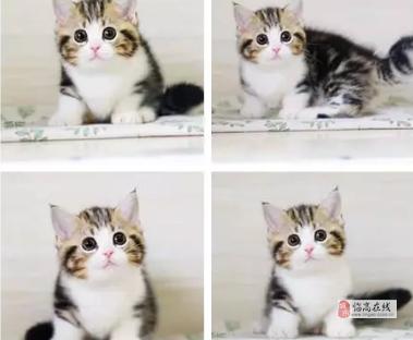 矮脚猫治愈系短毛猫颜值高甜美温顺粘人