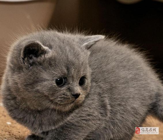 海口正规猫舍出售英短蓝白 美短 折耳 蓝猫 包纯种健康