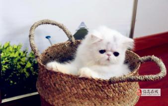 家庭猫舍繁育爆毛金吉拉 巨萌可爱 性格温顺不抓人