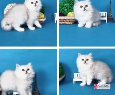 海口金吉拉猫