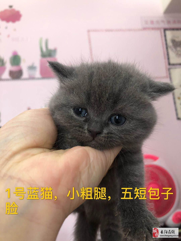杨女士有5只英短小猫咪出售