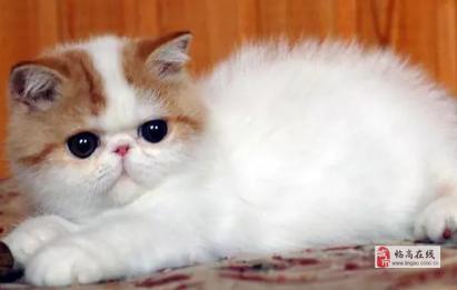 出售包子脸加菲猫