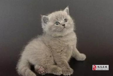 海口纯种小蓝猫