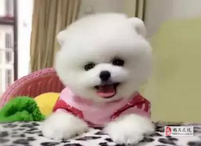 海口茶杯犬幼仔