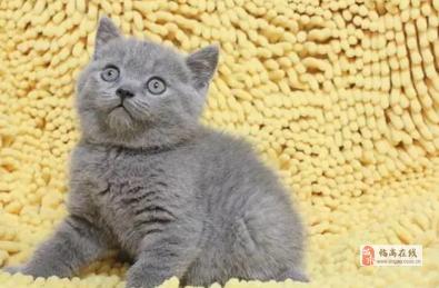 海口蓝猫超颜值小可爱