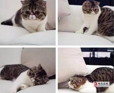 高颜值加菲猫