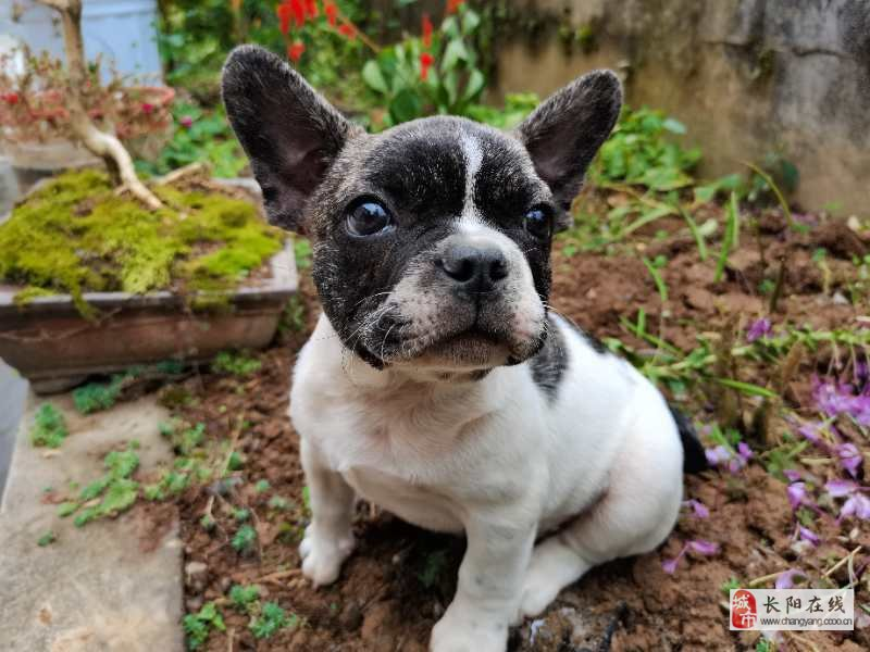 长阳鲜女士现有幼犬法斗一只(公〉出售!