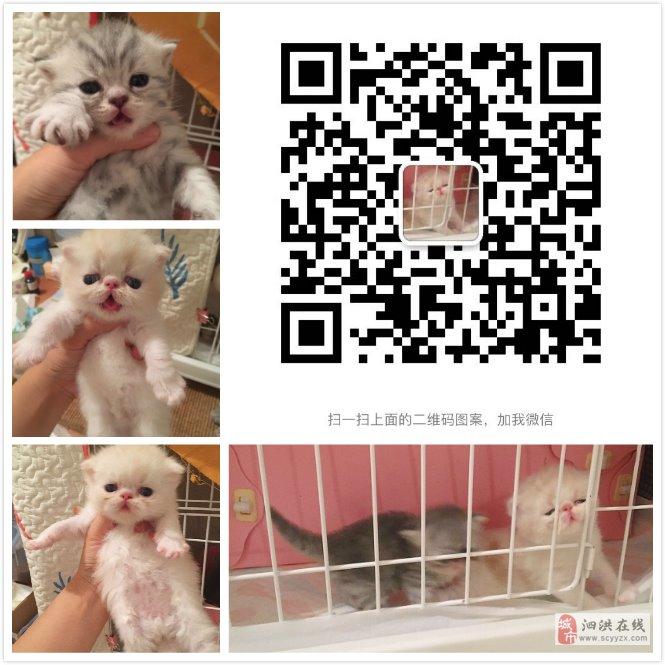加菲小猫出售两个月