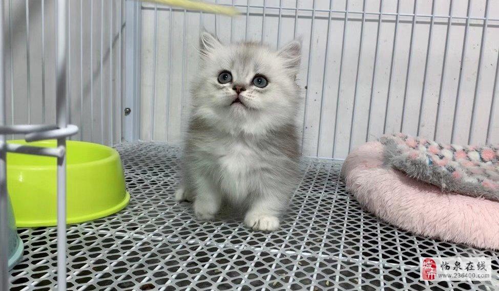 蓝猫渐层布偶矮脚纯白拿破仑无毛猫出售