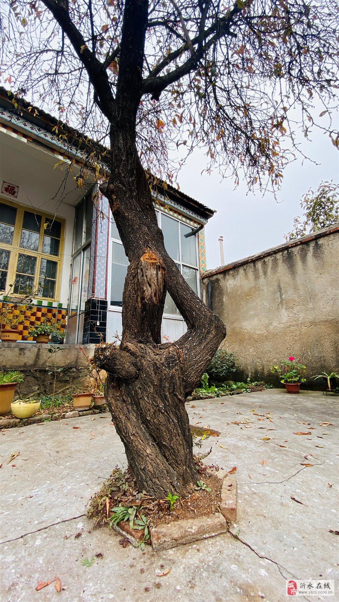 15年左右的李子树树桩很粗,自家院子栽的可做绿化树
