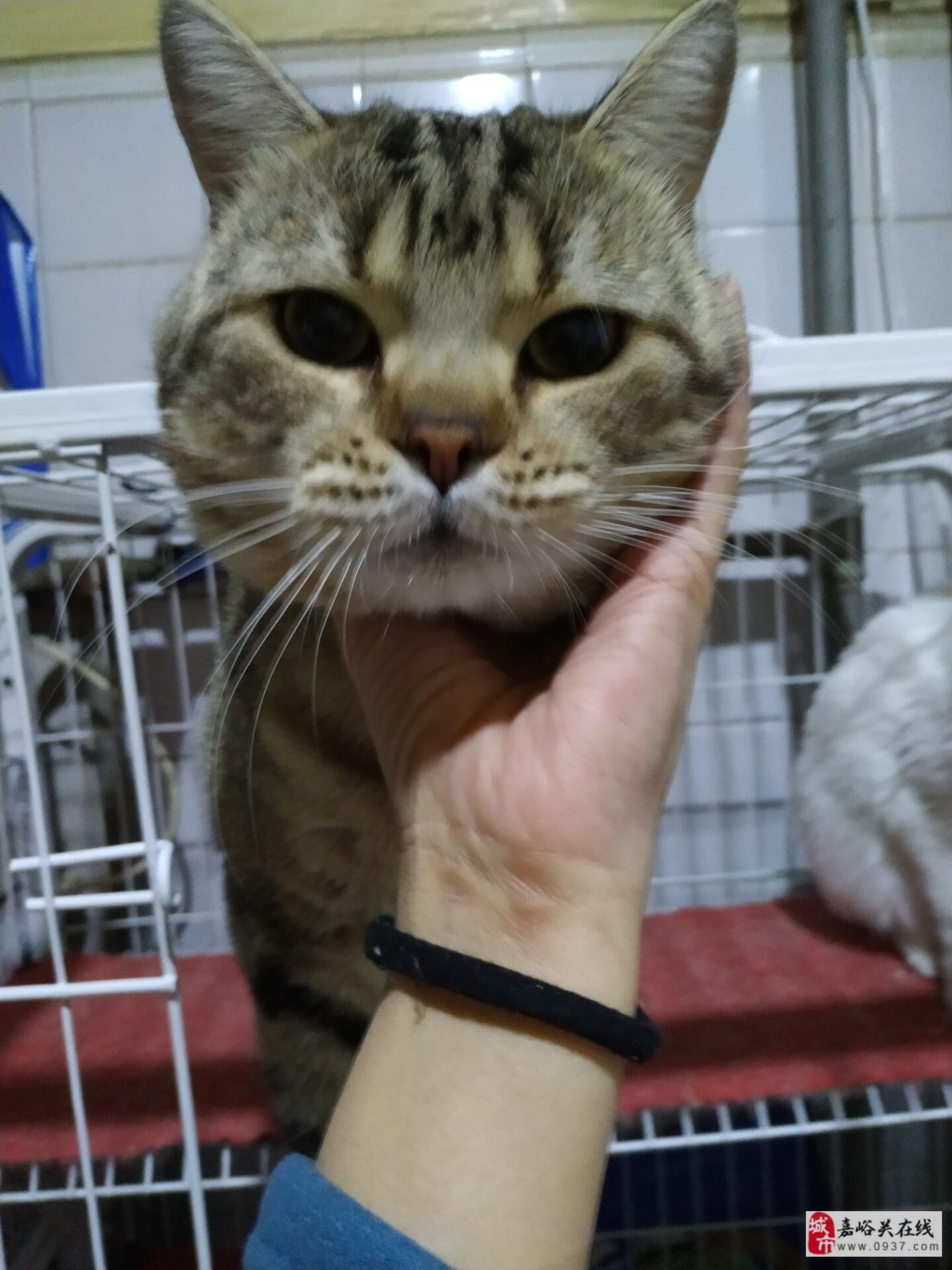 免费领养美短猫猫,个人繁育不想做了,只求对猫好!