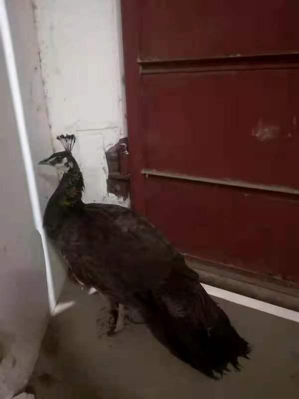 家有孔雀一只便宜出售!