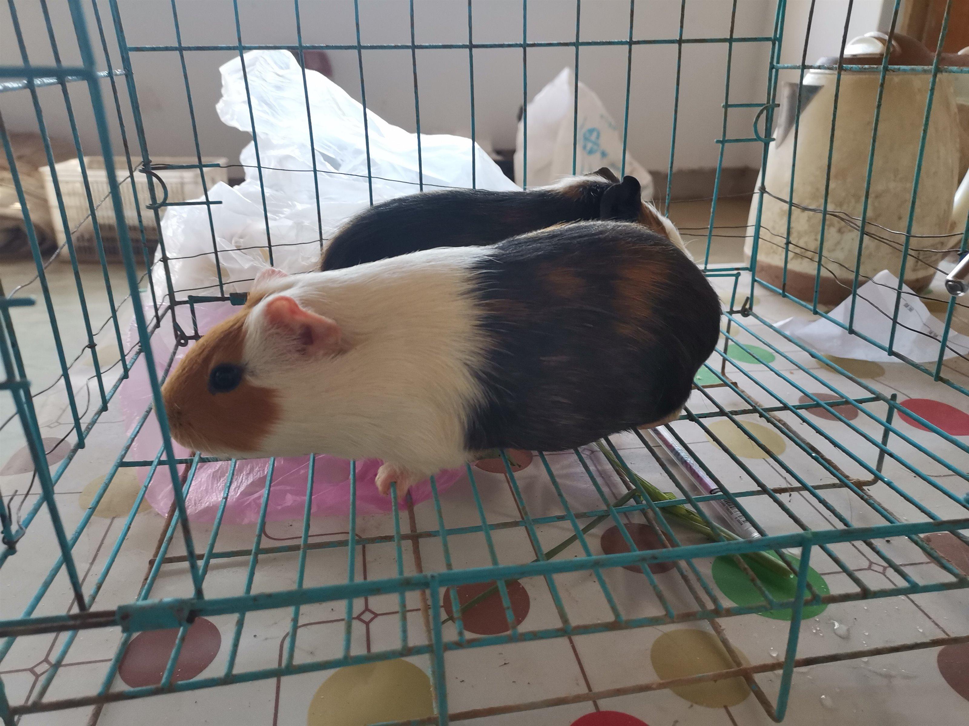 出售一对健康的荷兰鼠