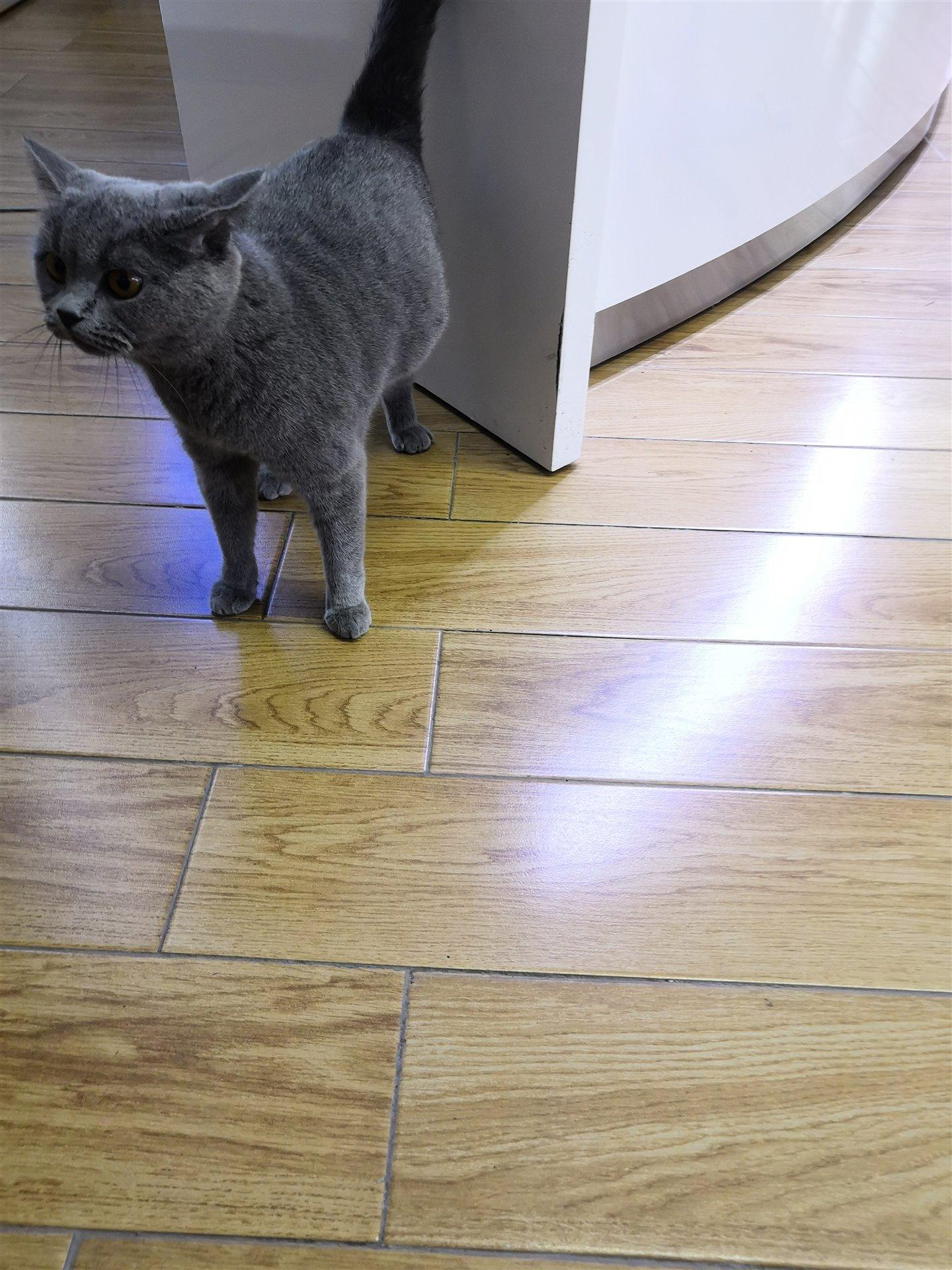 灰色英短猫失物招领