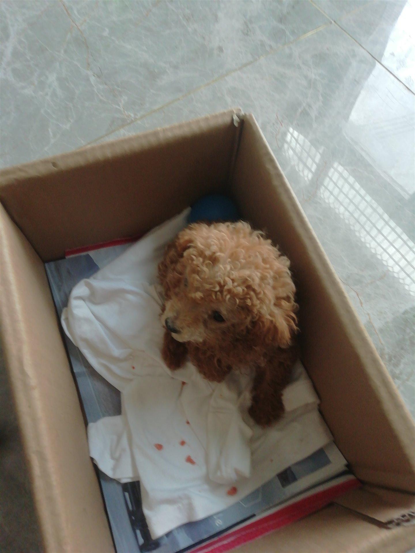 .純種2月泰迪幼犬