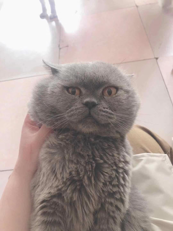 家養藍貓包子臉