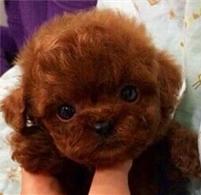 个人家的小体泰迪狗      价位面议