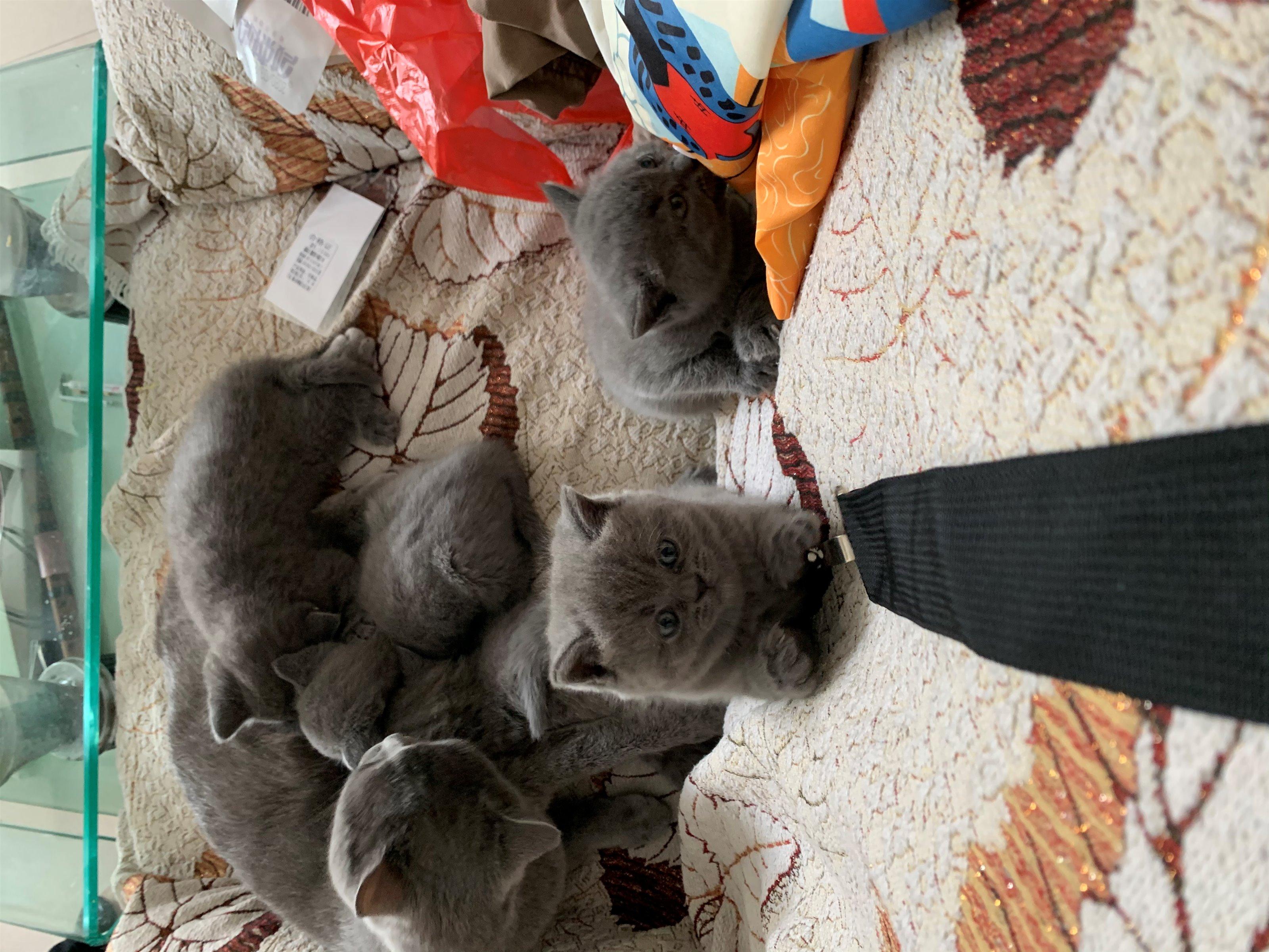 自己家生的 蓝猫 支持预定