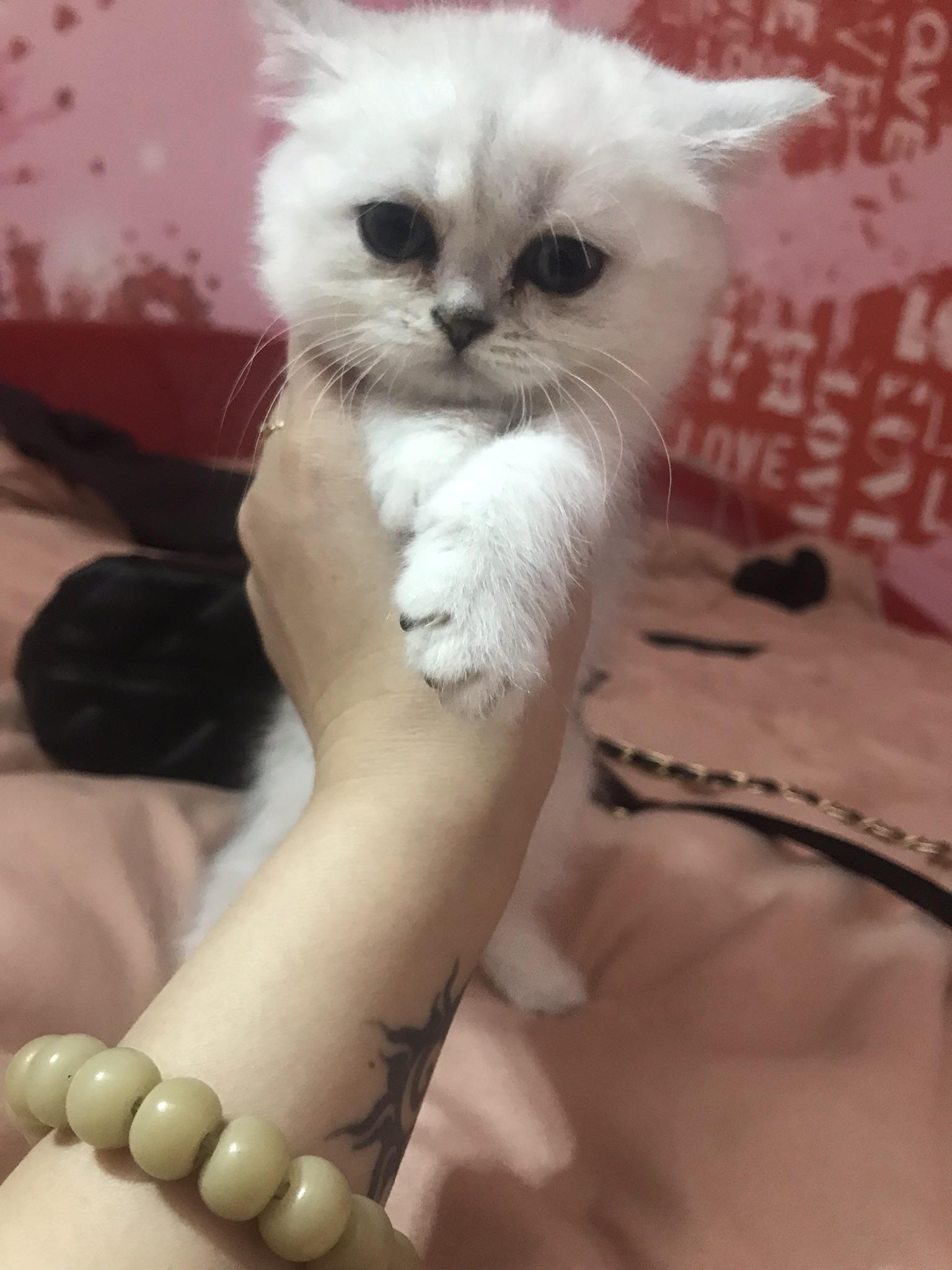 渐层小奶猫出售
