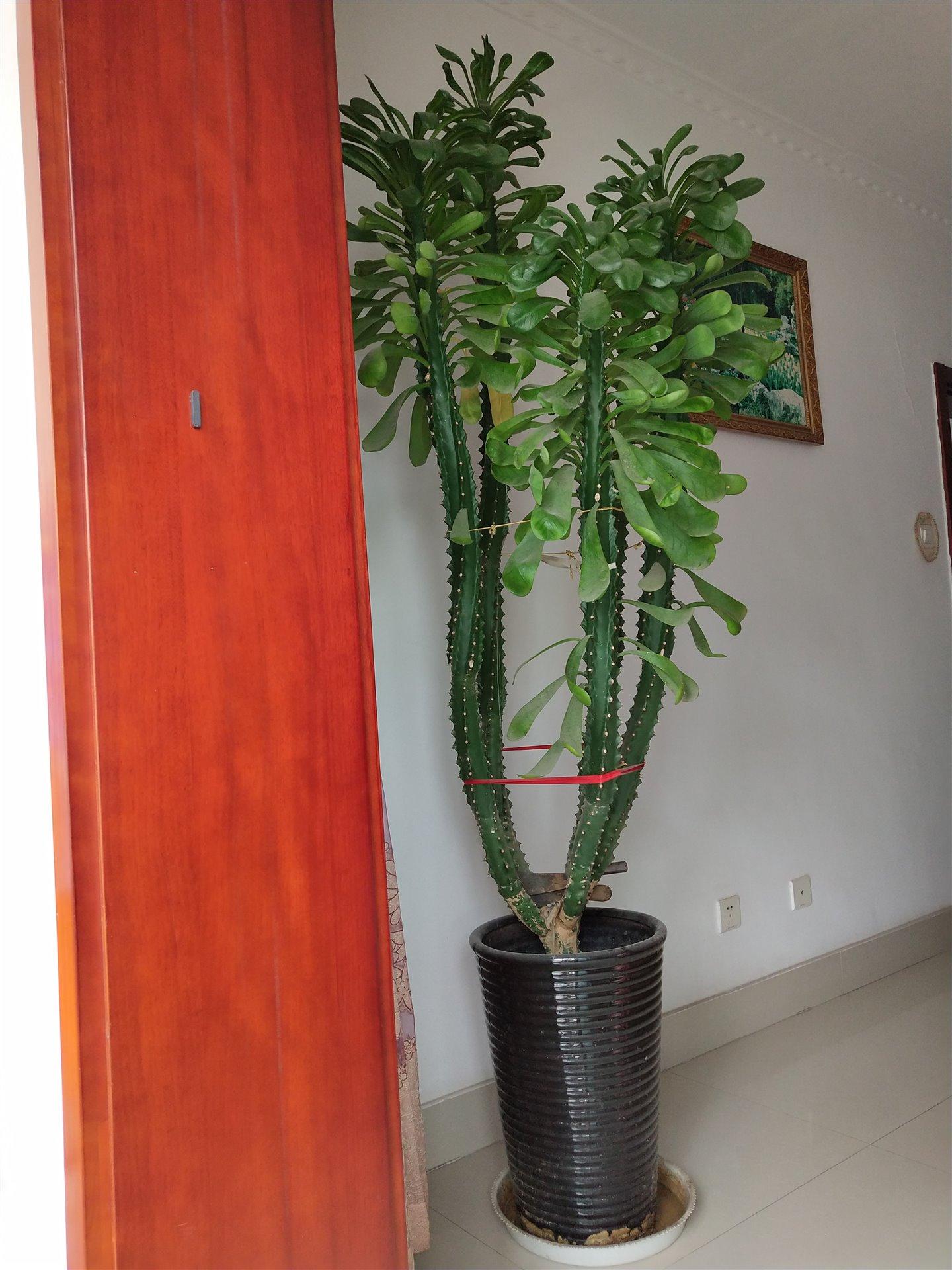常绿植物,学名霸王鞭