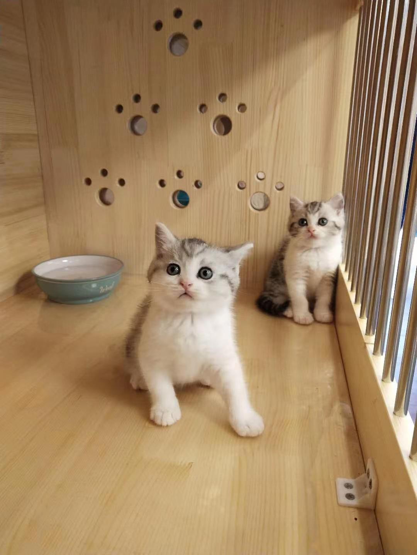 蓝猫,美短,渐层,布偶猫,低价出