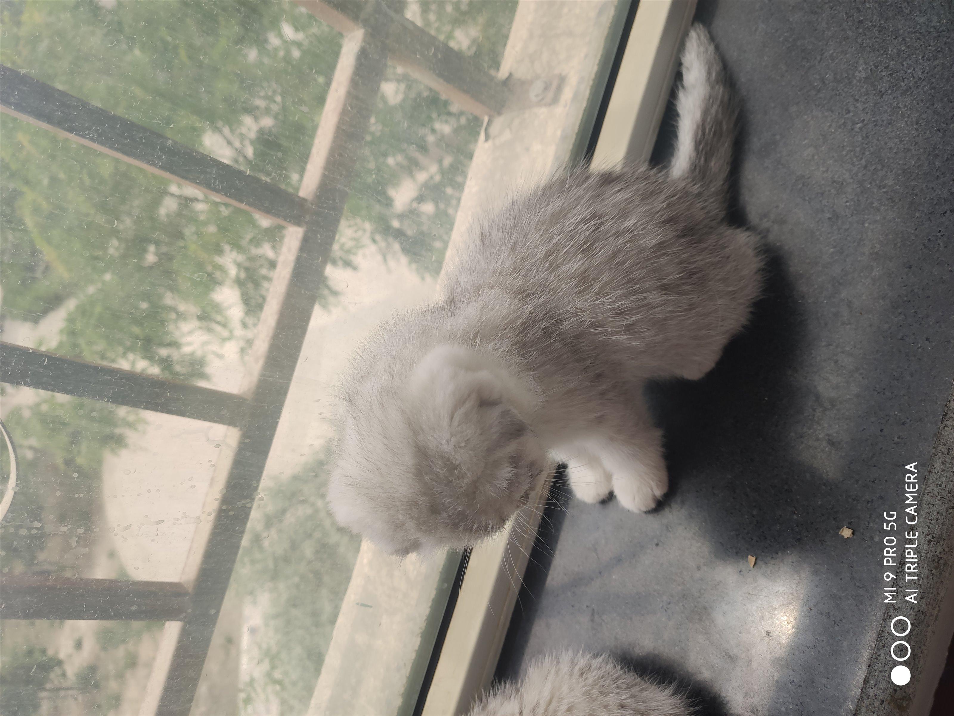 自家家養銀漸層小貓出售