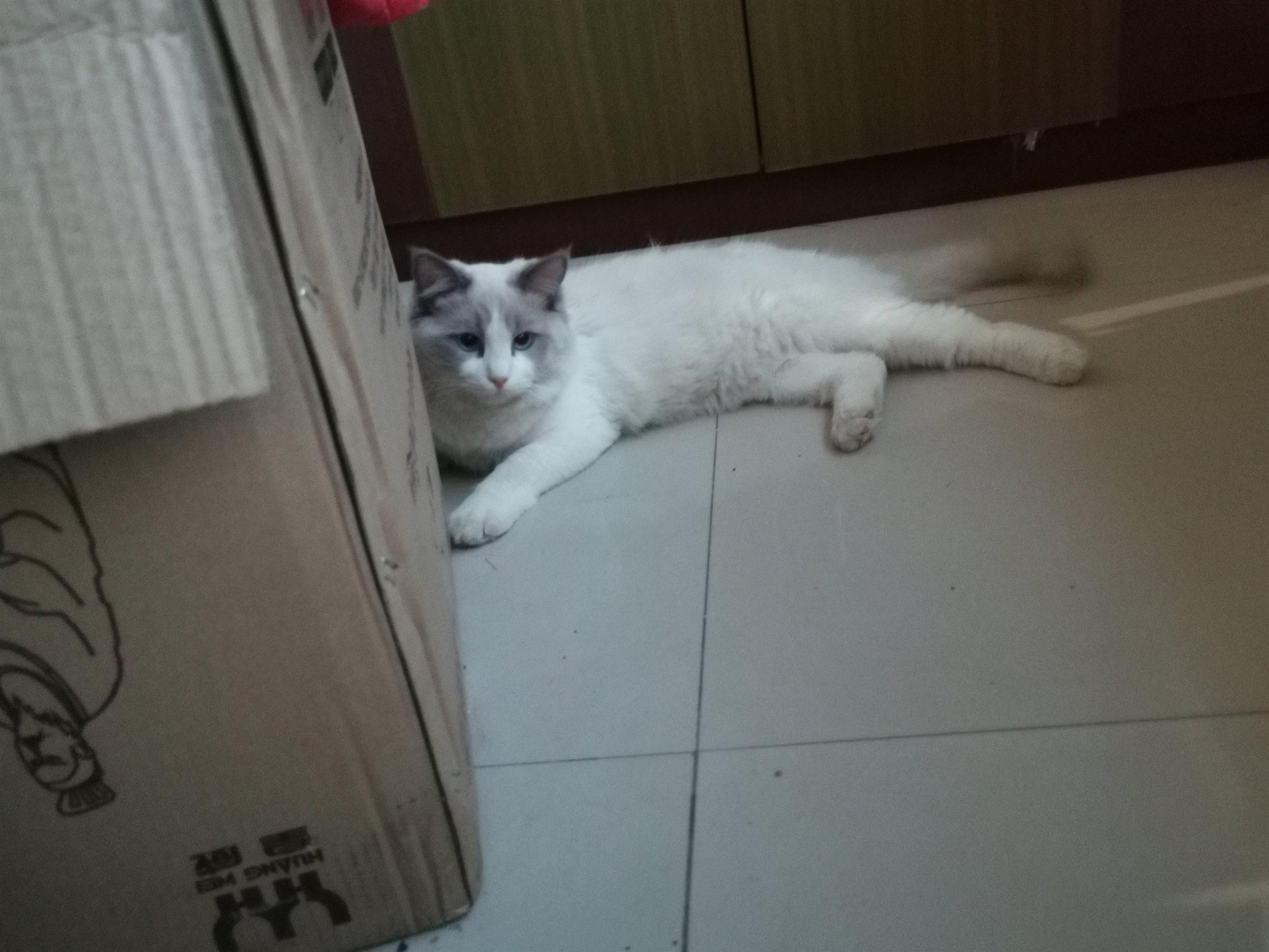 布偶貓,要去外地,希望找個愛貓人士照顧它