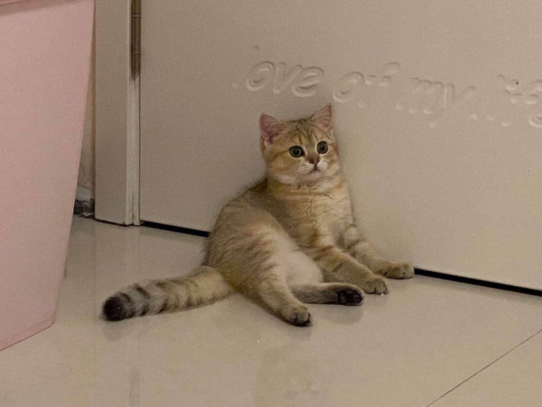 金漸層寵物貓