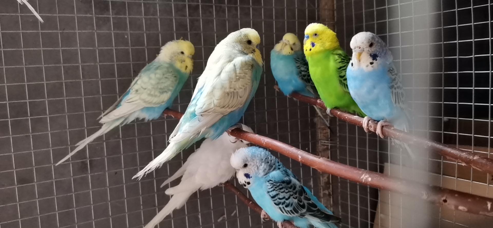 宠物鸟!沾化县城附近!