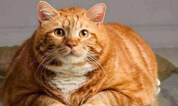 求购或者领养中华田园猫的橘猫,其他的也行