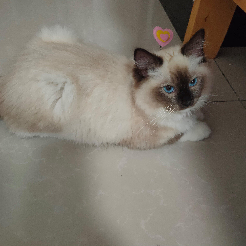 布偶猫便宜卖