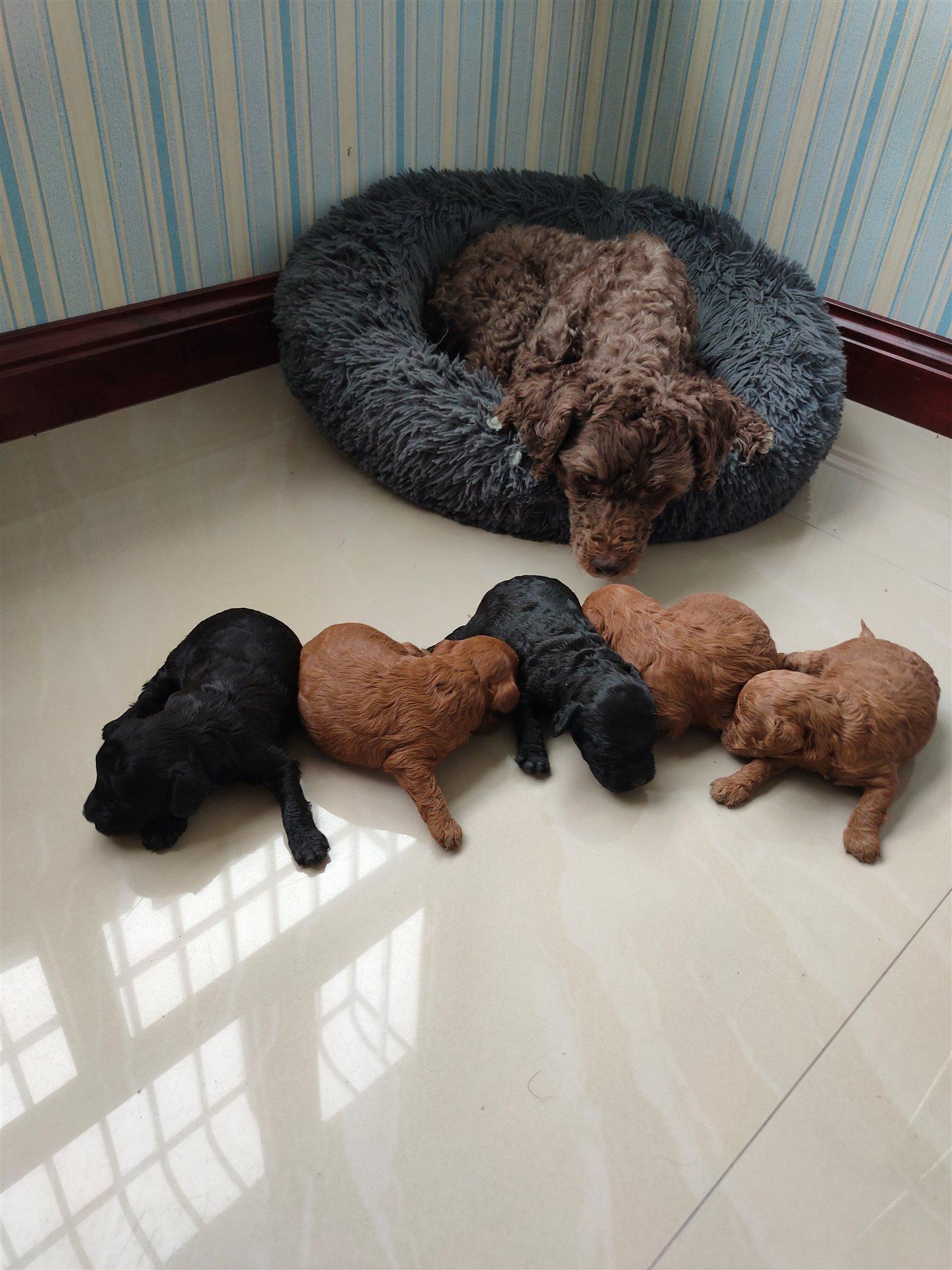 出售纯种泰迪幼犬