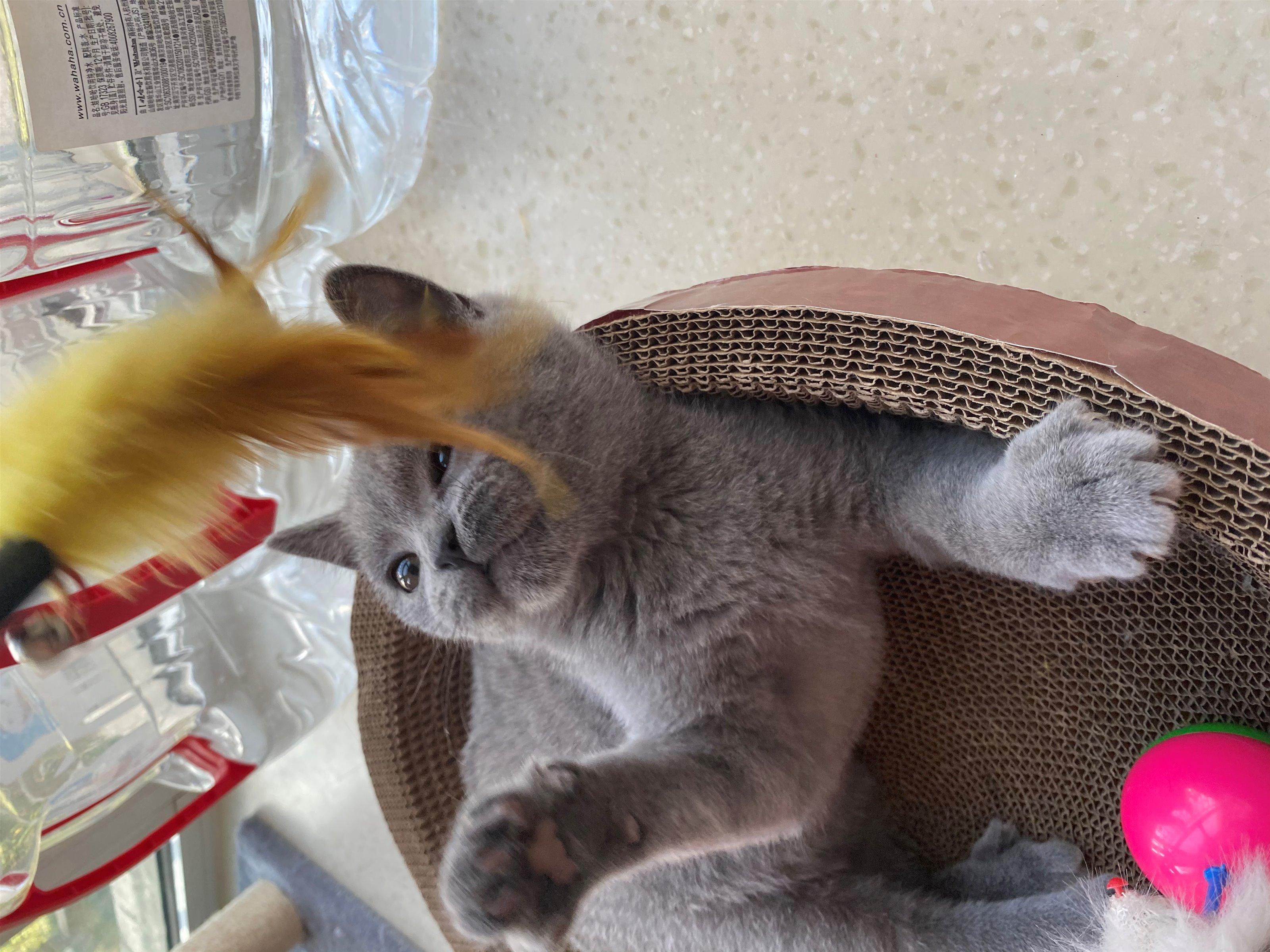 出售一只蓝猫母