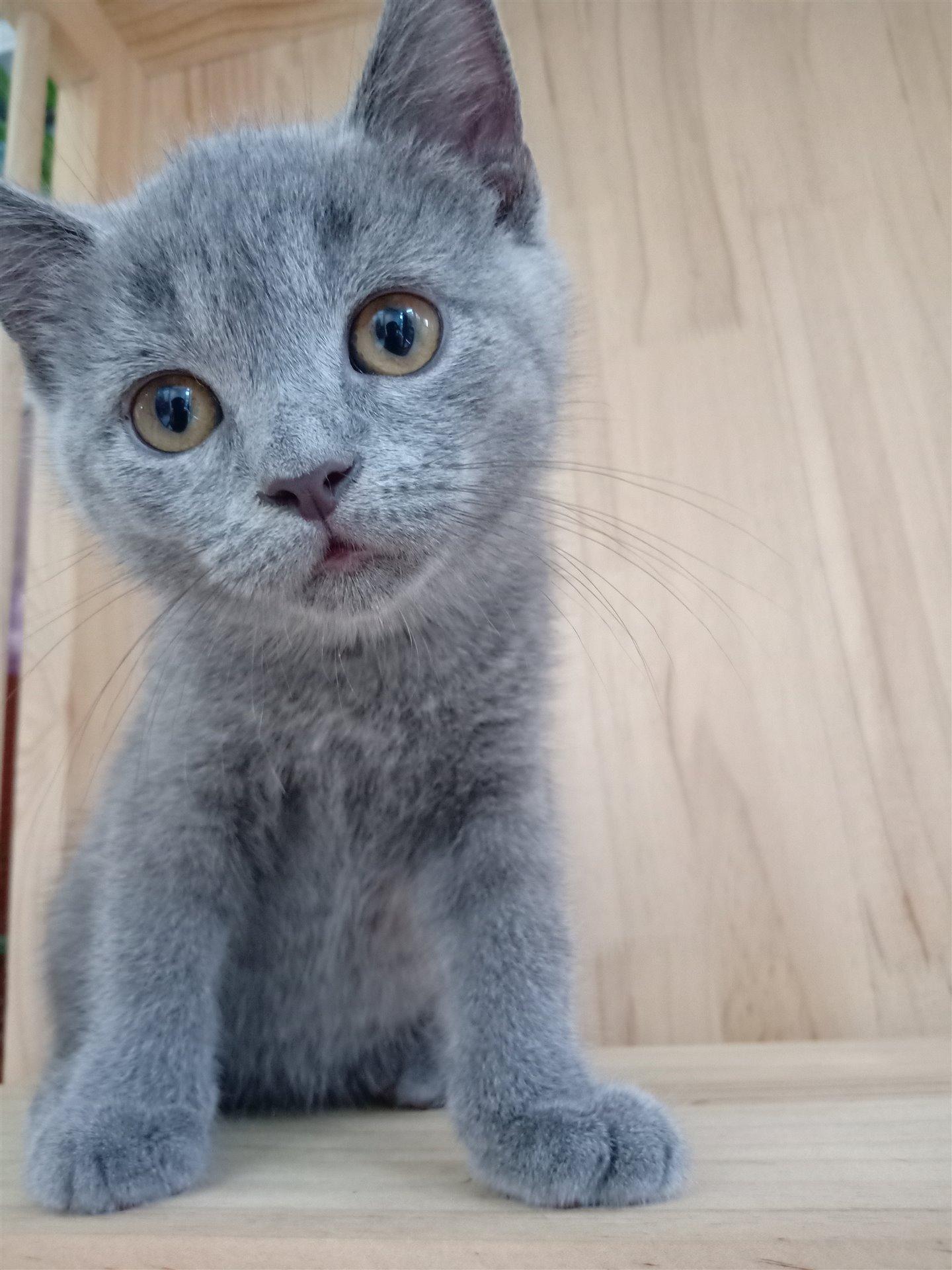 标准血统蓝猫