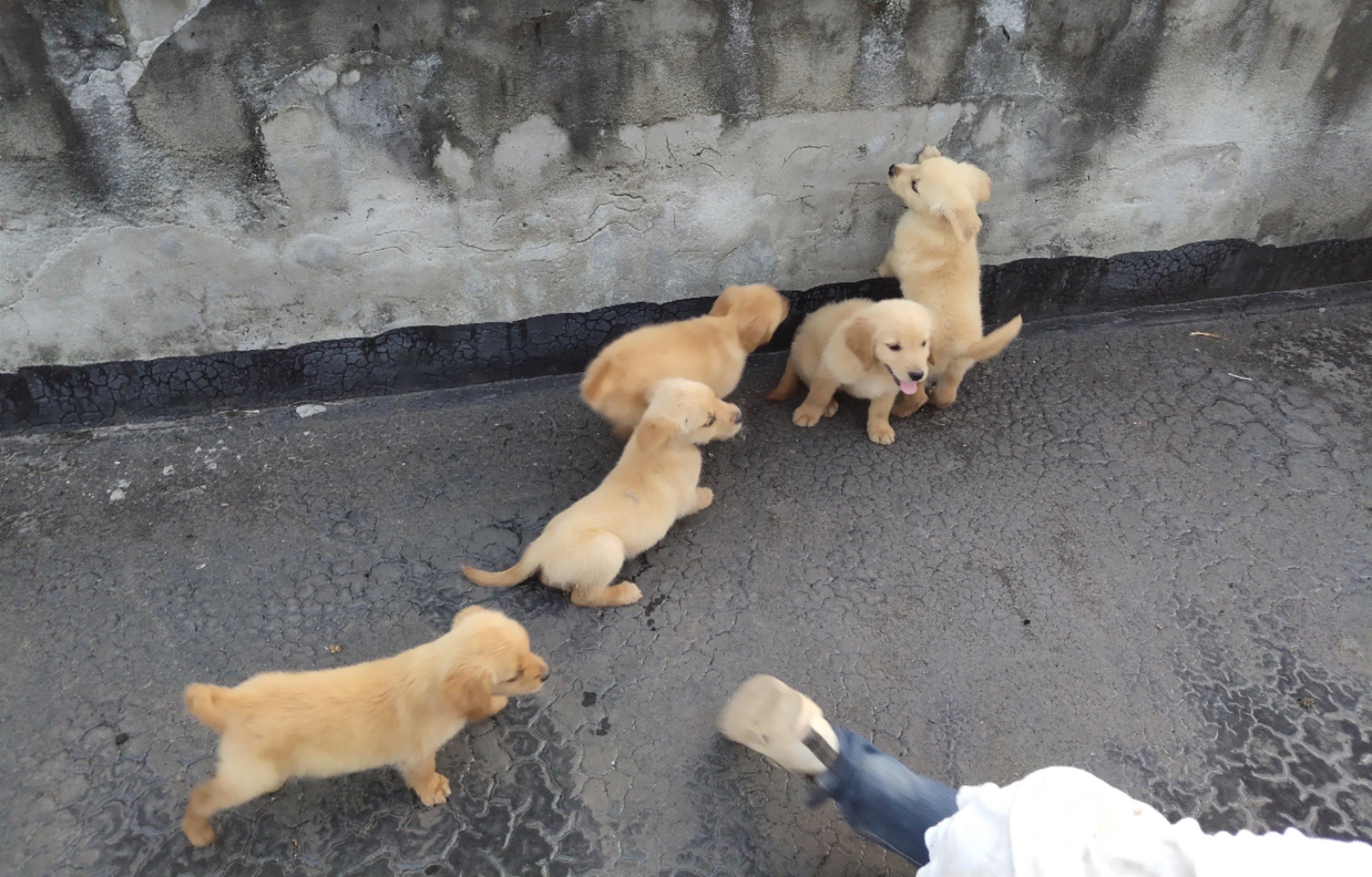养金毛幼犬