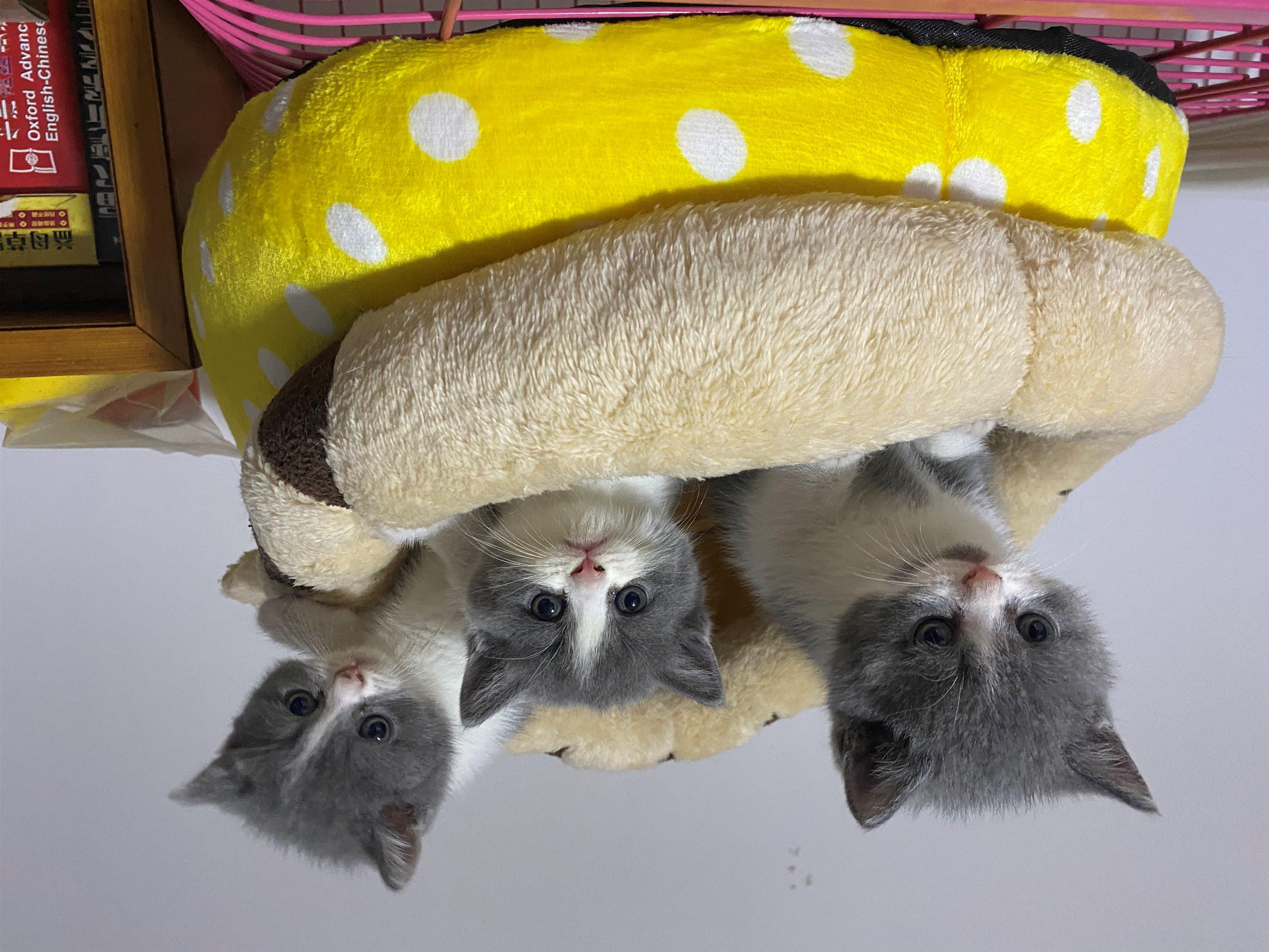 自家繁育英短貓