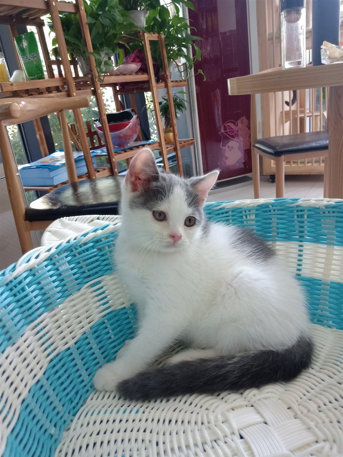 蓝猫重点色、虎斑、加菲猫价格美丽
