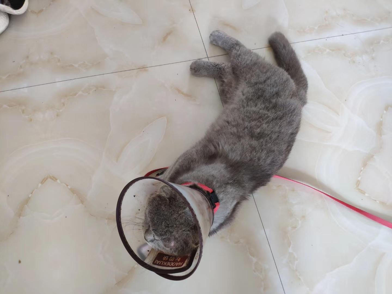纯种兰猫 两岁 公猫