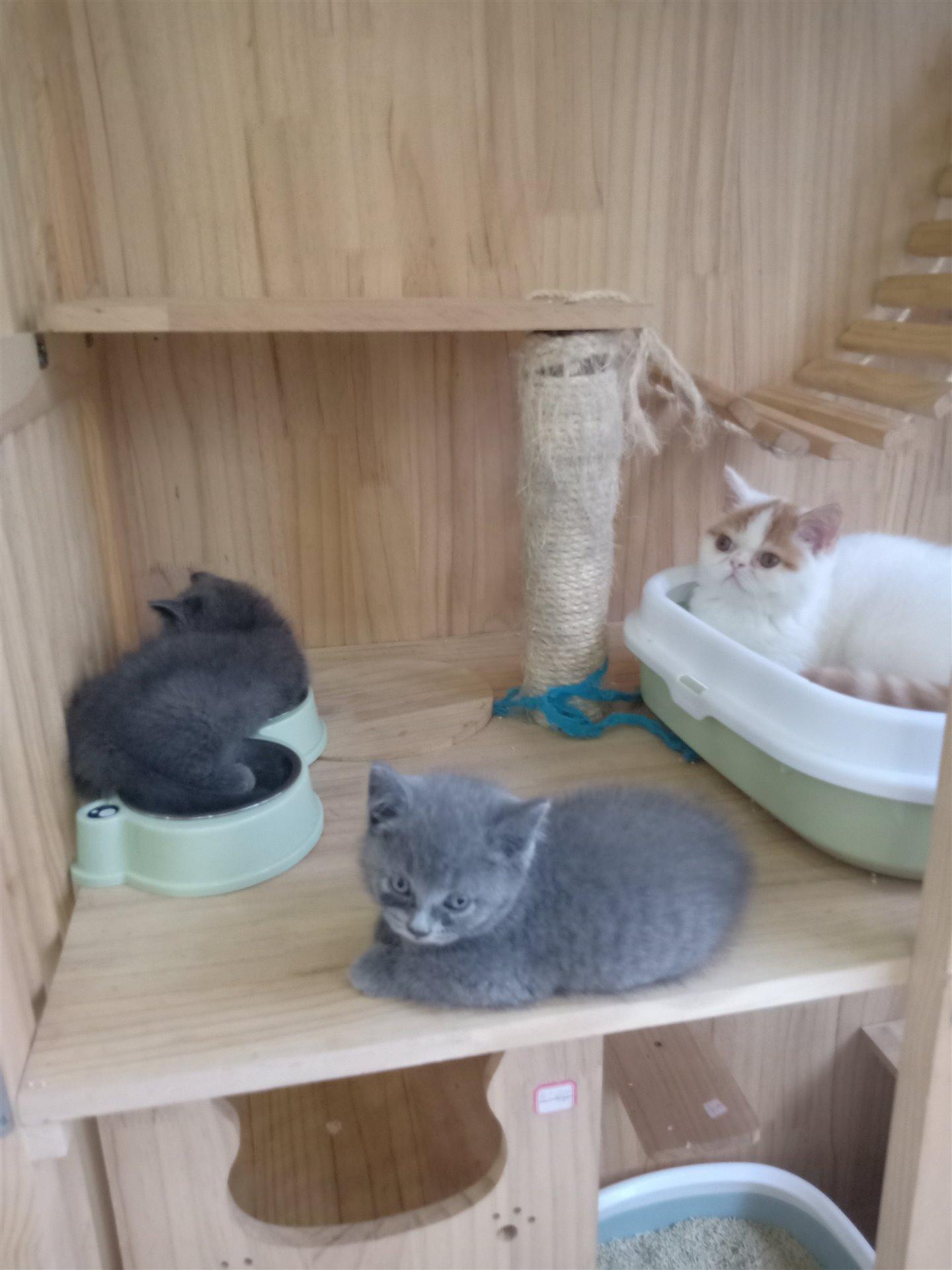 蓝猫2公1母、加菲猫、蓝白