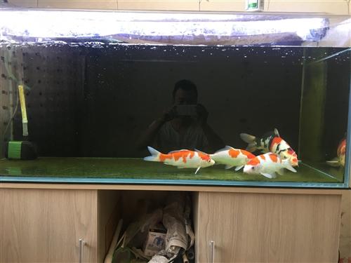 日系精品锦鲤