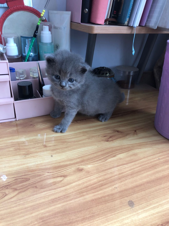 青州市區自家養的藍貓