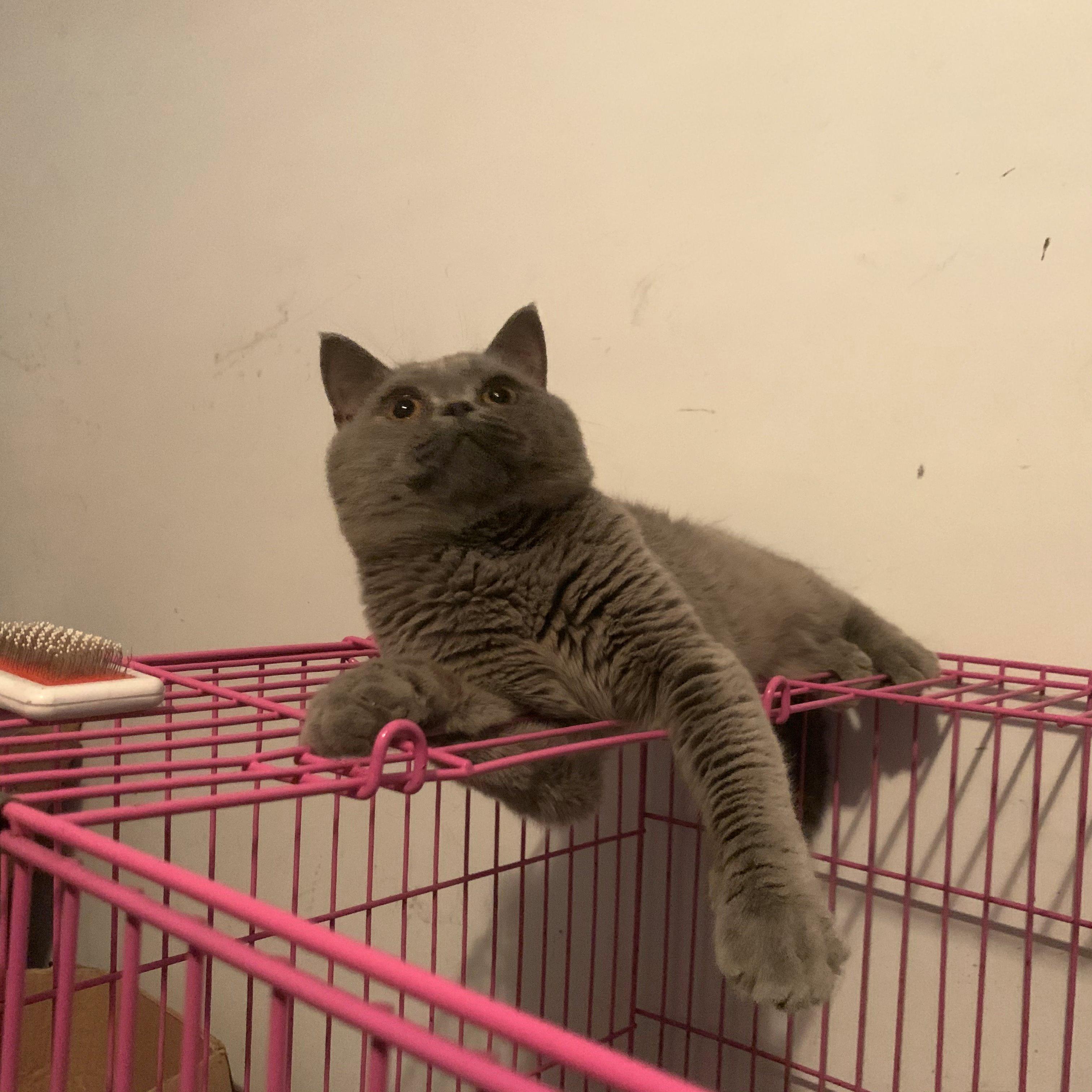 CFA藍貓借配公