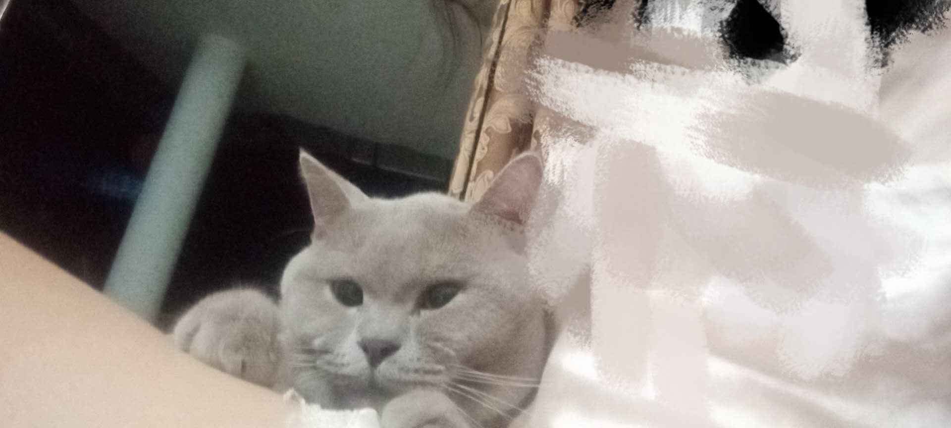 成年英短蓝猫