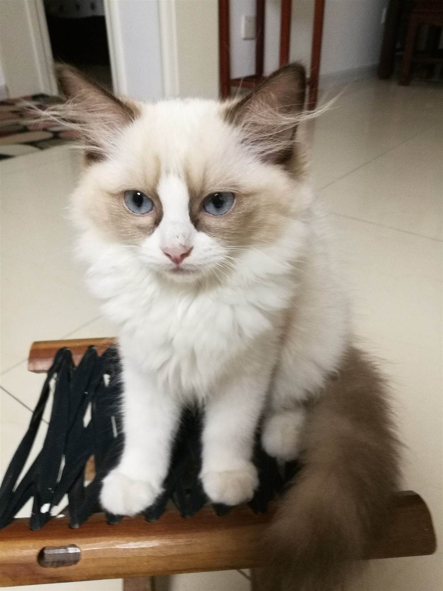 3月大布偶猫出售