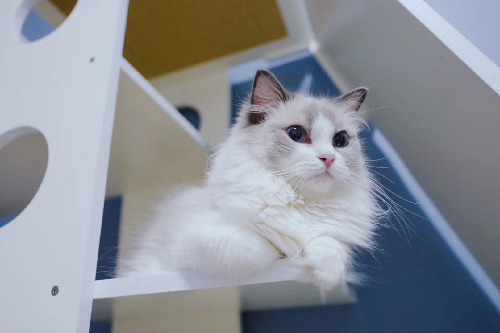 宠物级超可爱布偶猫出售