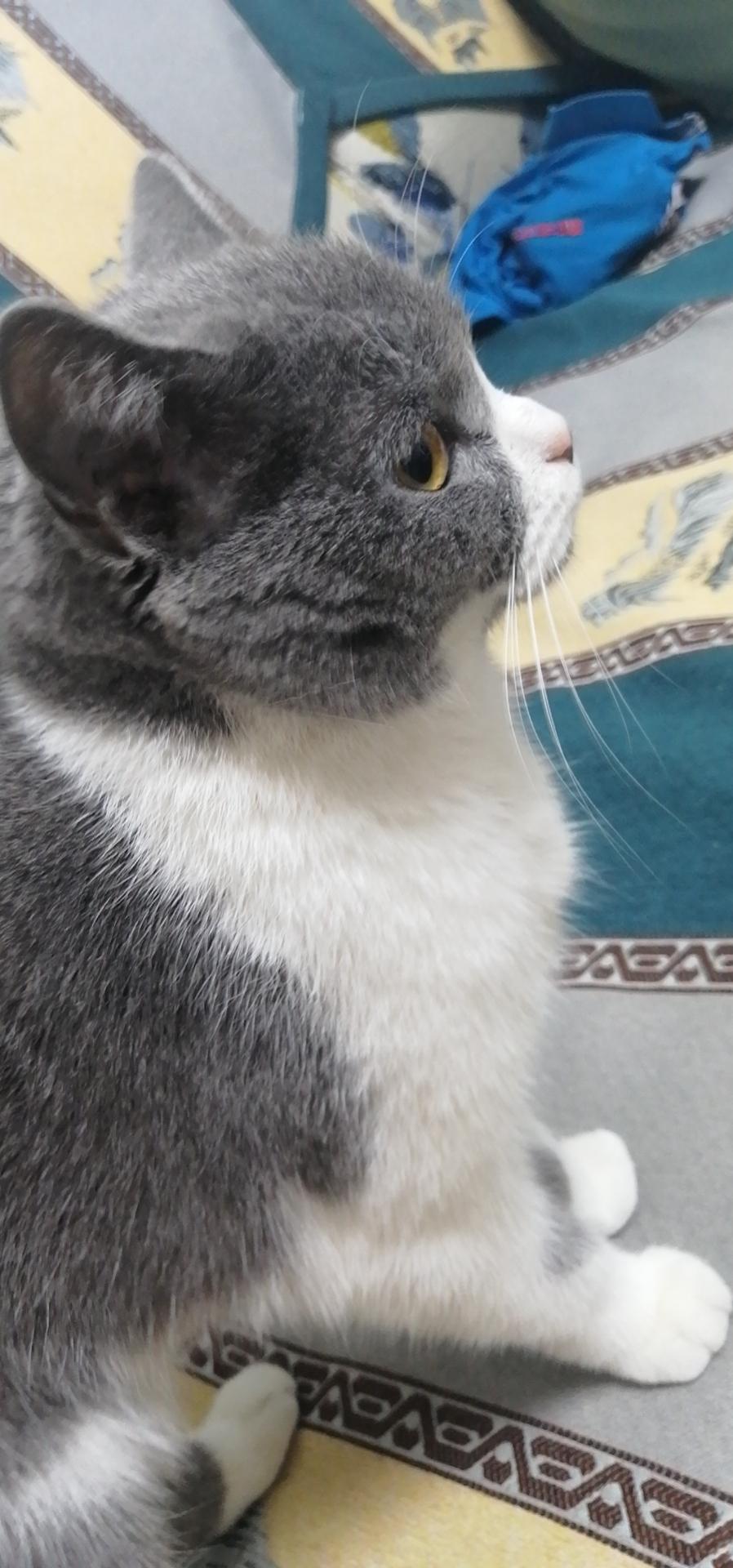 自家英短猫繁育(汤姆同款)