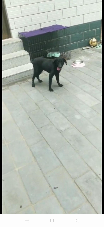 拉布拉多犬母七个月